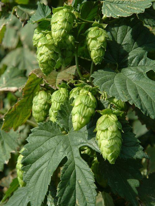 Von Hopfen, Ernte und Bier zum Hopper