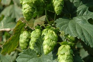 From Hops, Harvest and beer to Hopper